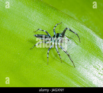 Adult Male Jumping Spider (Cosmophasis micarioides), Salticid, Salticidae, Far North Queensland, FNQ, QLD, Australia - Stock Photo