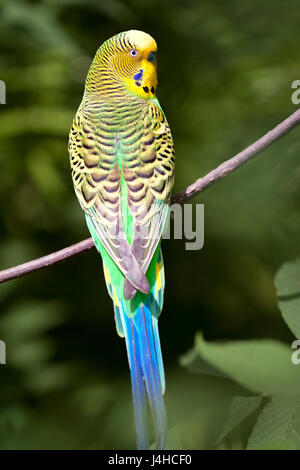 Green Budgerigar (Melopsittacus undulatus) sitting on a branch. - Stock Photo