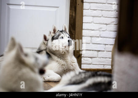 Siberian husky at home lying on the floor. lifestyle with dog - Stock Photo