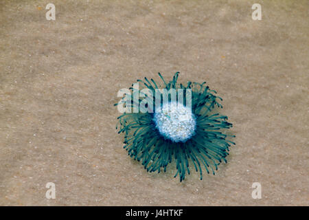 Blue Button Jellyfish washes up on shore in Florida. - Stock Photo