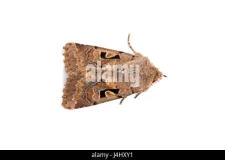 Hebrew Character moth, Orthosia gothica,  family Noctuidae.  On white background. Monmouthshire, March. Focus stacked - Stock Photo