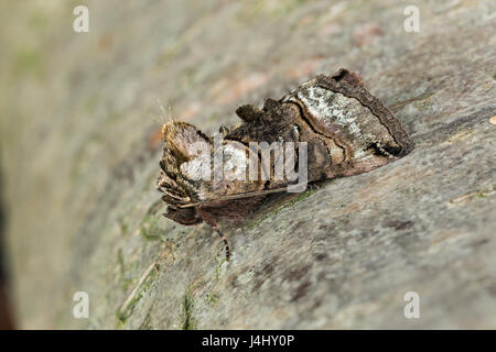 Spectacle moth, Abrostola tripartita, Catbrook, Monmouthshire, April.  Family Noctuidae - Stock Photo
