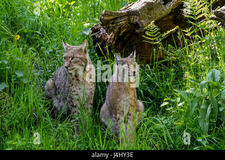 Two Eurasian lynxes (Lynx lynx) male and female sitting in grassland - Stock Photo