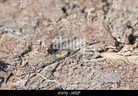 Banded Groundling (Brachythemis leucosticta) Dragonfly Resting on a Twig on the Ground in Tanzania - Stock Photo