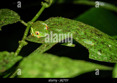 Red-eyed Tree Frog, Agalychnis callidryas by night in Costa Rica - Stock Photo