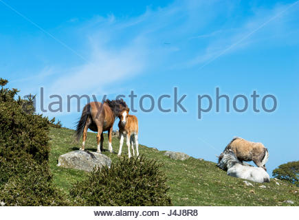 Carneddau ponies on Cefn Maen Amor, Snowdonia - Stock Photo