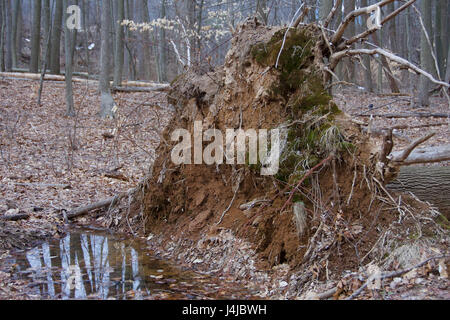 toppled over fallen tree with roots visible in forest - Stock Photo