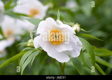 Paeonia emodi flowers in Spring. - Stock Photo