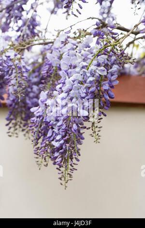 Wisteria sinensis flowers. - Stock Photo