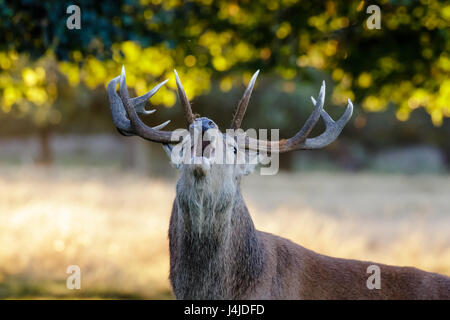 Red Deer rut stag portrait (Cervus elaphus) roaring or calling in park woodland - Stock Photo
