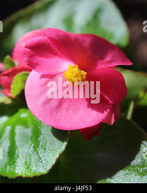 The bright pink flower of summer bedding plant Begonia semperflorens, also known as wax begonia - Stock Photo