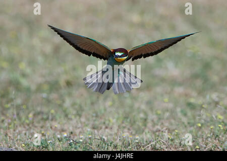 European bee-eater in flight with vegetation in the background - Stock Photo