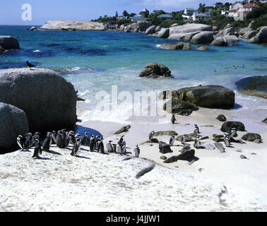 South Africa, Simons's Town, bay 'The Boulders', glass penguins, Spheniscus demersus Africa, coast, bile coast, - Stock Photo