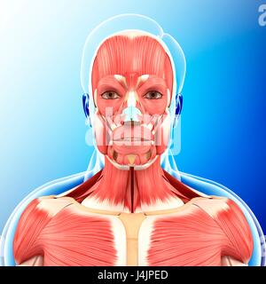 Illustration of head and neck muscles. - Stock Photo