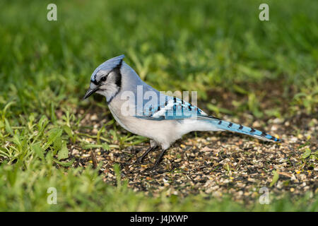 Blue Jay foraging in grassy area. - Stock Photo