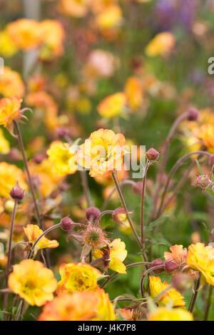 Geum 'Alabama Slammer' flowers in Spring, - Stock Photo