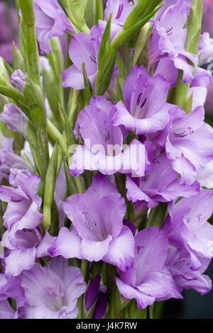 Gladiolus 'Velvet Eyes' flowering in Spring. - Stock Photo