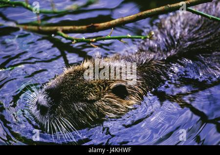 European beavers, Castor fiber, water animal, animals, rodent, rodents, Rodentia, mammal, mammals, wild animal, - Stock Photo