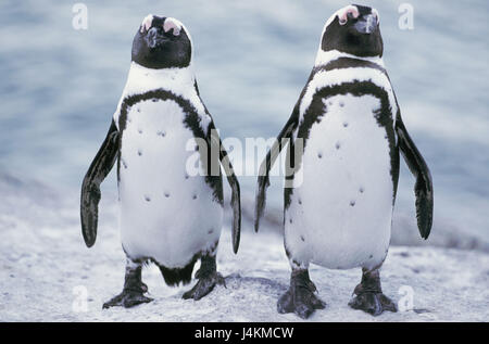 South Africa, Capetown, Boulders's Bay, glass penguins, Spheniscus demersus Africa, rock, animals, animal world, - Stock Photo