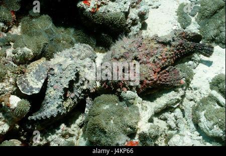 Real stone fish, Synanceia verrucosa - Stock Photo