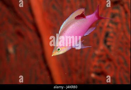 Tuka-flag perch, Pseudanthias tuka, coral, close up - Stock Photo