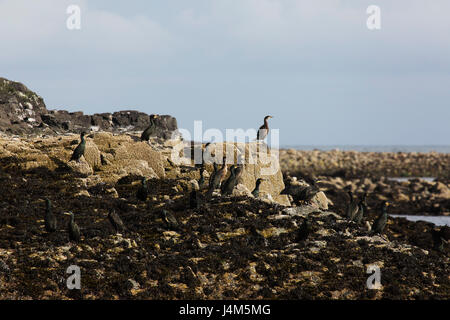 Guillemot at the Farne Islands off the coast of Northumberland in England. The Farne Islands are a national nature - Stock Photo