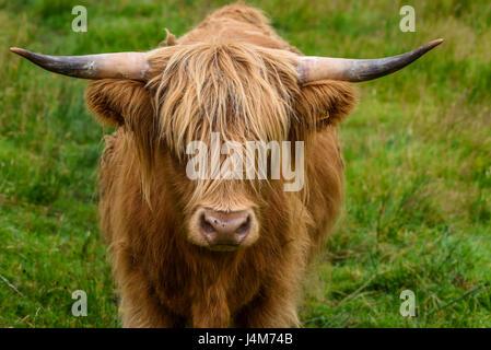 Cow. Scotish highland cattle in portrait; Highlands, Scotland, United Kingdom - Stock Photo