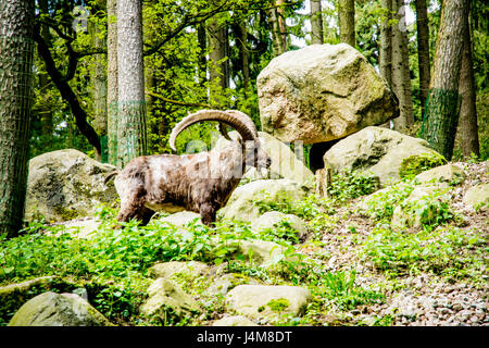 Brown muflon in a large green field in Europe - Stock Photo
