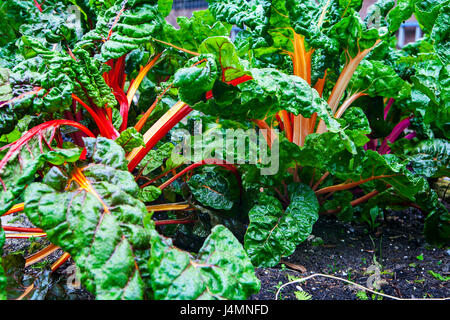 Colorful chard growing at the allotment - Stock Photo