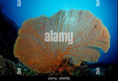 Coral reef, Gorgonie, Subergorgia sp. - Stock Photo