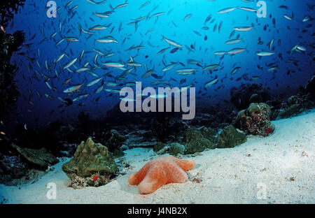 Fish dream, neon fusiliers, cushion starfish, Pterocaesio tile, Choriaster granulatus,