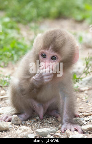 Japanese Macaque (Macaca fuscata) baby holding hand over mouth - Stock Photo