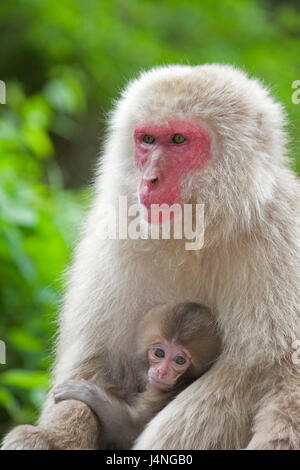 Japanese Macaque (Macaca fuscata) mother holding baby - Stock Photo