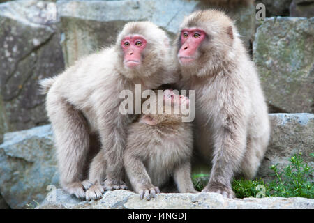 Japanese Macaques family (Macaca fuscata) staring at another group of monkeys while protecting younger monkey - Stock Photo