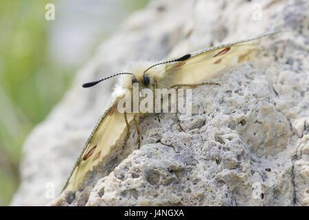 Stone, high-level alps-Apollofalter, Parnassius phoebus, wings spread, front view, Switzerland, nature, animals, - Stock Photo