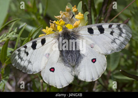 Meadow, high-level alps-Apollofalter, Parnassius phoebus, Switzerland, nature, animals, animal world, insects, noble - Stock Photo