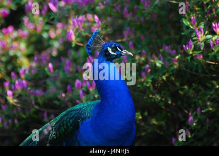 Park, peacock, blue, Azaleenbusch, - Stock Photo