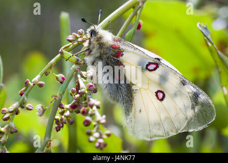Meadow, high-level alps-Apollofalter, Parnassius phoebus, preview, Switzerland, nature, animals, animal world, insects, - Stock Photo