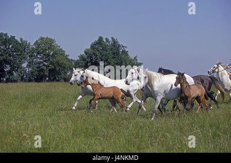 Lusitano horses, mares with foal, pasture, - Stock Photo