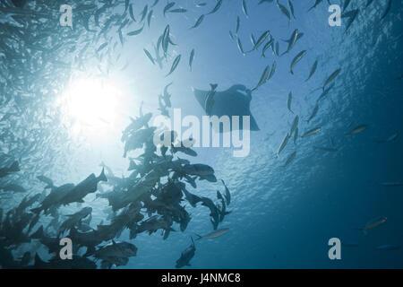 Underwater recording, fish dream, black latches, Macolor Niger, Manta, Manta birostris, back light, - Stock Photo
