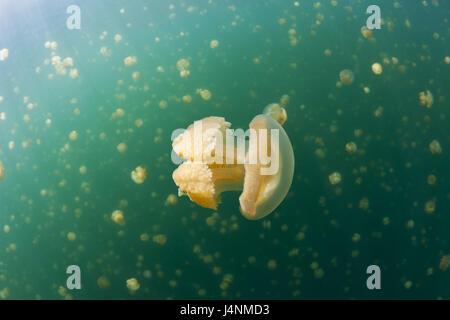 Underwater recording, Mastigias-display screen jellyfishes, Mastigias Papua etpisonii, - Stock Photo