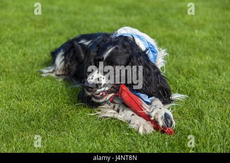 the dog of breed Cocker Spaniel lies on a green grass, blackly white Cocker Spaniel - Stock Photo