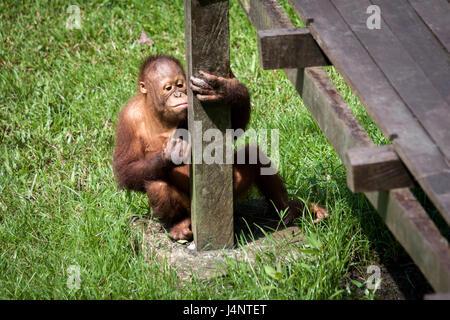 Cute baby Orangutan sitting on the grass amusing itself at Matang Wildlife Center in Borneo. Orangutans are fast - Stock Photo