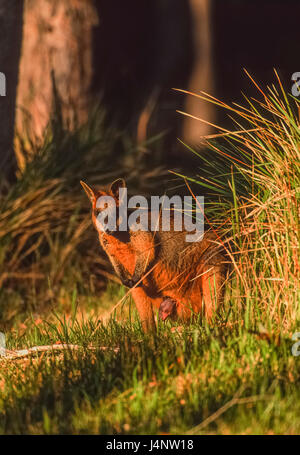 Swamp Wallaby, Wallabia bicolor, Byron Bay, New South Wales, Australia - Stock Photo