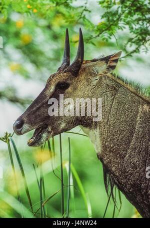 male Nilgai or Blue Bull, Boselaphus tragocamelus, Keoladeo Ghana National Park, Bharatpur, Rajasthan, India - Stock Photo