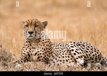 Cheetah (Acinonyx jubatus) resting on open savanna, Masai Mara National Game Park Reserve, Kenya, East Africa - Stock Photo