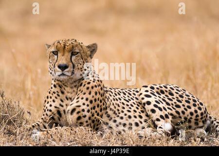 Cheetah (Acinonyx jubatus) resting on open savanna, Masai Mara National Game Park Reserve, Kenya, East Africa