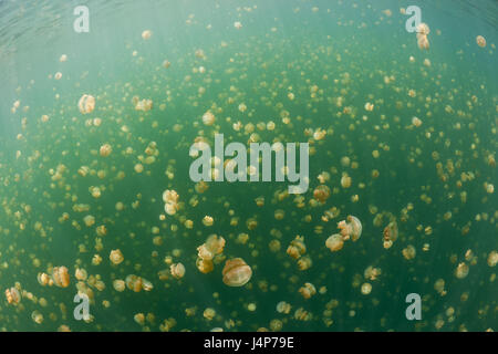 Underwater recording, Mastigias-display screen jellyfishes, Mastigias Papua etpisonii, dream, - Stock Photo
