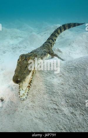 Underwater recording, saltwater crocodile, Crocodylus porosus, mouth, openly,