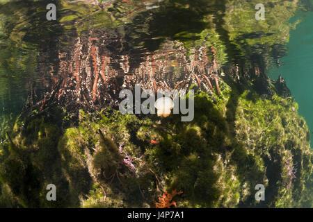 Underwater recording, mangroves, Mastigias-display screen jellyfish, Mastigias Papua etpisonii, - Stock Photo